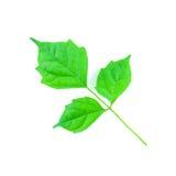 Hoja verde aislada Fotos de archivo libres de regalías