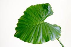 Hoja verde aislada en blanco foto de archivo