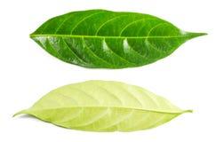 Hoja verde aislada en el fondo blanco Imágenes de archivo libres de regalías