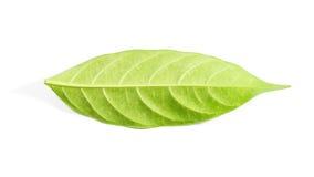 Hoja verde aislada en el fondo blanco Foto de archivo libre de regalías