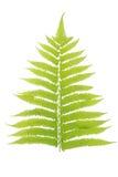 Hoja verde aislada en un fondo blanco imágenes de archivo libres de regalías