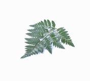 Hoja verde aislada en un fondo blanco Imagenes de archivo