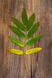 Hoja Verde-amarilla de Rowan Lying en un tablero de madera Foto de archivo