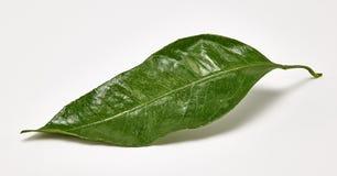 Hoja verde brillante de la mandarina en un fondo blanco Tiroteo macro foto de archivo