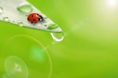 Hoja verde clara con gota del ladybug y del agua Foto de archivo libre de regalías