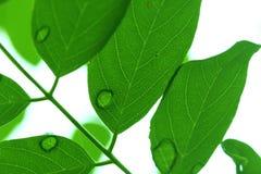 Hoja verde clara con la mañana húmeda Foto de archivo libre de regalías