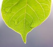 Hoja verde clara del árbol del borde brillante colorido fotografía de archivo libre de regalías