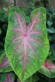 Hoja verde clara y rosada del Caladium Imagen de archivo libre de regalías