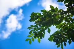 Hoja verde con el cielo en la sol brillante Hoja de los árboles forestales Fondos de madera verdes de la luz del sol de la natura imagen de archivo libre de regalías