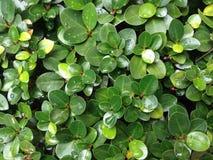 Hoja verde con el descenso del agua, fondo de la gota de agua Imágenes de archivo libres de regalías