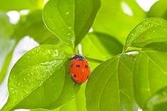 Hoja verde con el ladybug Foto de archivo libre de regalías