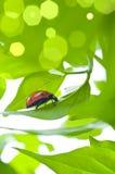 Hoja verde con el ladybug Imagen de archivo libre de regalías