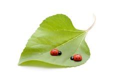 Hoja verde con el ladybug Fotografía de archivo libre de regalías