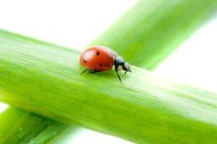 Hoja verde con el ladybug Imagenes de archivo