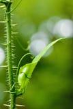 Hoja verde con el tronco espinoso Fotografía de archivo libre de regalías