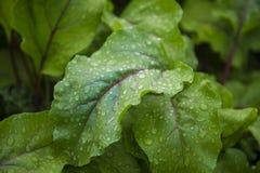hoja verde con gotas del agua Fotografía de archivo libre de regalías