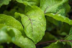 hoja verde con gotas del agua Foto de archivo