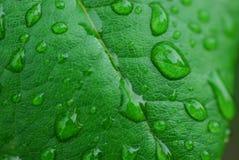 Hoja verde con gotas del agua foto de archivo libre de regalías