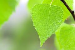 hoja verde con gotas del agua Imagen de archivo