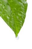 Hoja verde con gotas del agua Fotos de archivo libres de regalías