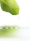 Hoja verde con la reflexión del agua Imagen de archivo libre de regalías