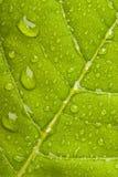 Hoja verde con las gotitas de agua Imágenes de archivo libres de regalías