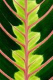 Hoja verde con las venas rojas Fotografía de archivo libre de regalías