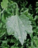Hoja verde con rocío de la mañana Fotos de archivo