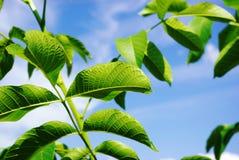 Hoja verde contra el cielo azul Imagenes de archivo