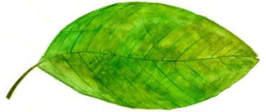 Hoja verde de la acuarela Imagen de archivo