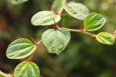 Hoja verde de la azufaifa imagenes de archivo