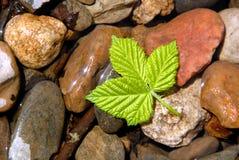 Hoja verde de la baya del resorte Imagenes de archivo
