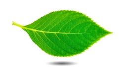 Hoja verde de la belleza Fotografía de archivo libre de regalías
