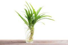 Hoja verde de la hierba pandan en el vidrio de agua en de madera Imagenes de archivo