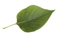 Hoja verde de la lila aislada en el fondo blanco Fotos de archivo libres de regalías