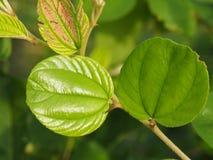 Hoja verde de la manzana del mono fotos de archivo