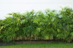 Hoja verde de la palma de bambú o de la palma de señora Fotos de archivo libres de regalías