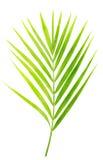 Hoja verde de la palmera aislada foto de archivo libre de regalías