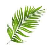 Hoja verde de la palmera aislada en blanco fotografía de archivo