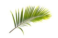 Hoja verde de la palmera del coco aislada en el fondo blanco Fotos de archivo libres de regalías