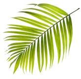 Hoja verde de la palmera en blanco Imagen de archivo libre de regalías