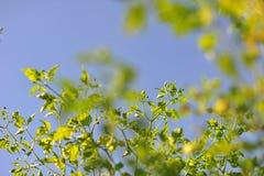 Hoja verde de la pimienta de chiles delante del backg del cielo azul y de la nube Imágenes de archivo libres de regalías