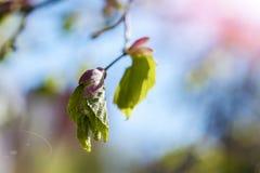 Hoja verde de la primavera en el fondo de un cielo azul Fotografía de archivo