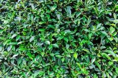 Hoja verde de la textura Imágenes de archivo libres de regalías