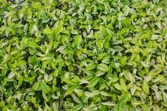 Hoja verde de la textura Imagen de archivo
