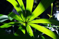 Hoja verde de señora Palm Foto de archivo