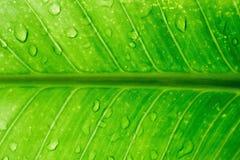 Rocío en las hojas verdes. Fotografía de archivo libre de regalías