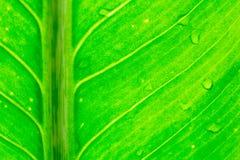 Rocío en las hojas verdes. Imagen de archivo libre de regalías