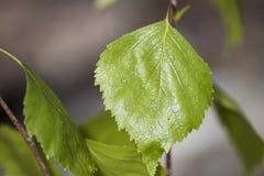 Hoja verde de un abedul por completo de venas detalladas Imagen de archivo