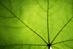 Hoja verde de un arce Fotos de archivo libres de regalías